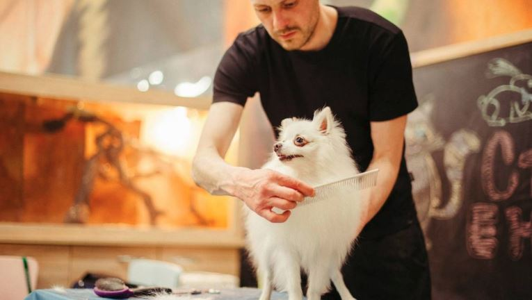 pomeranian dog getting groomed