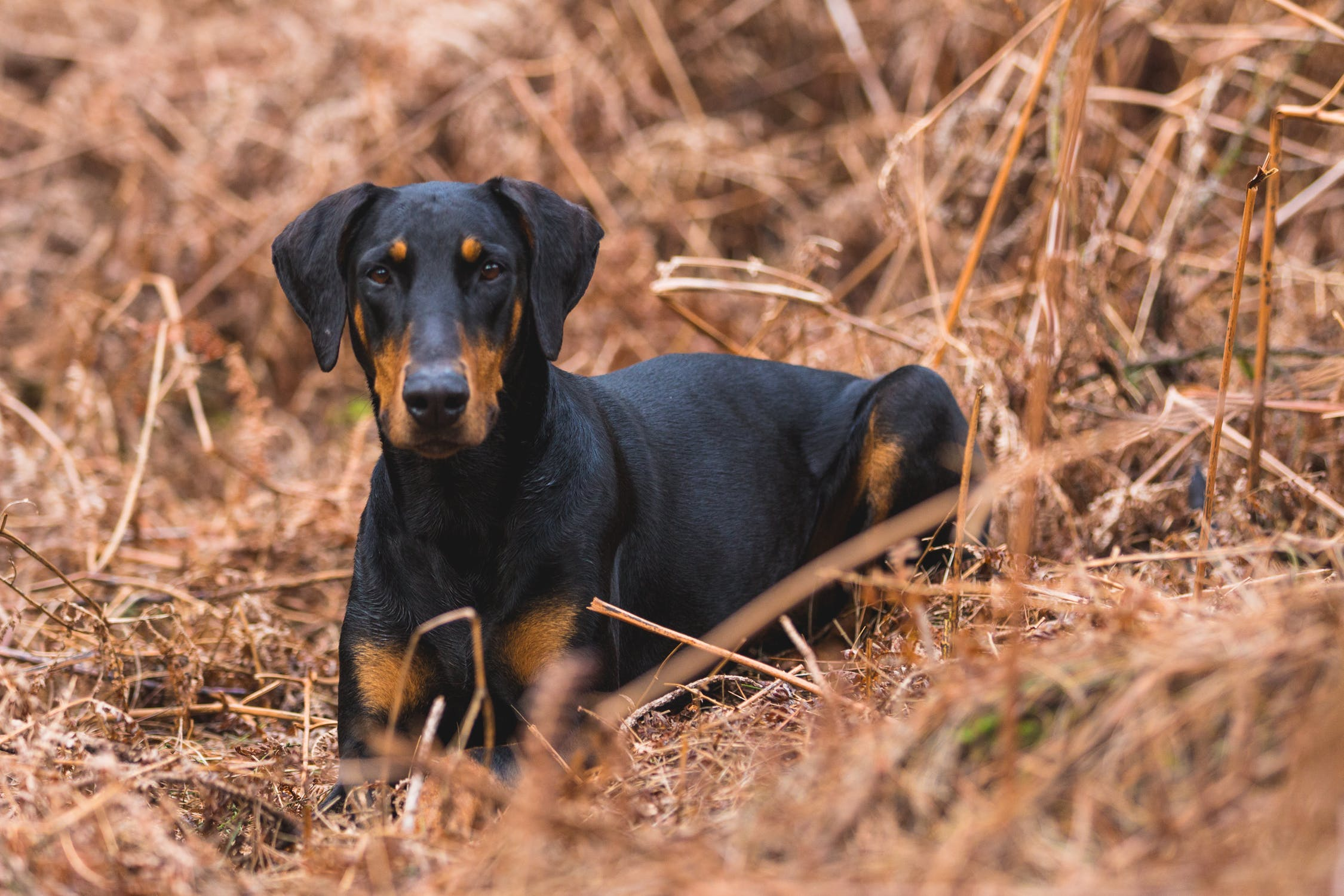doberman in dried grass