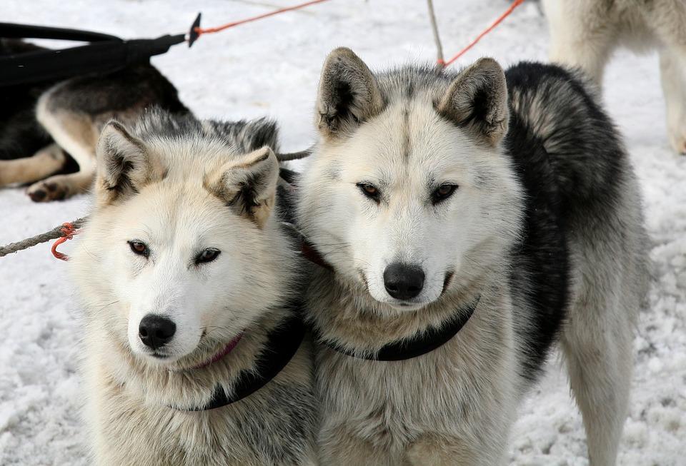 dos huskies