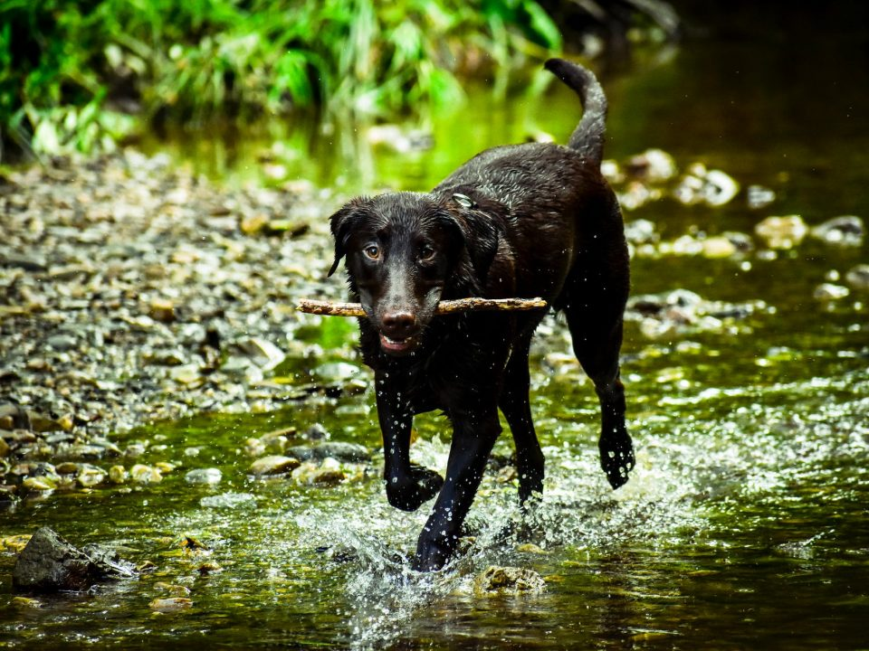 dog playing fetch with a stick