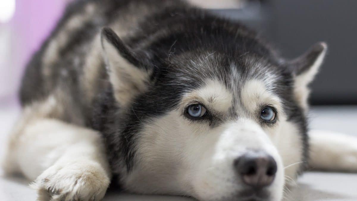 husky looking furtive